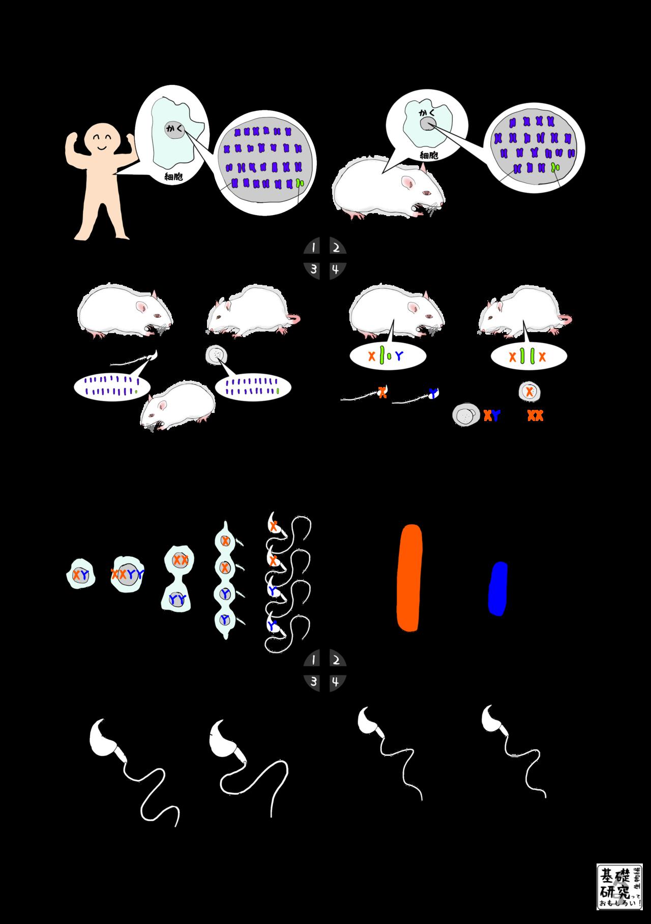 マウスの精子の運動性 ~違いを生み出すX染色体~ 1|かわいせーざん ...