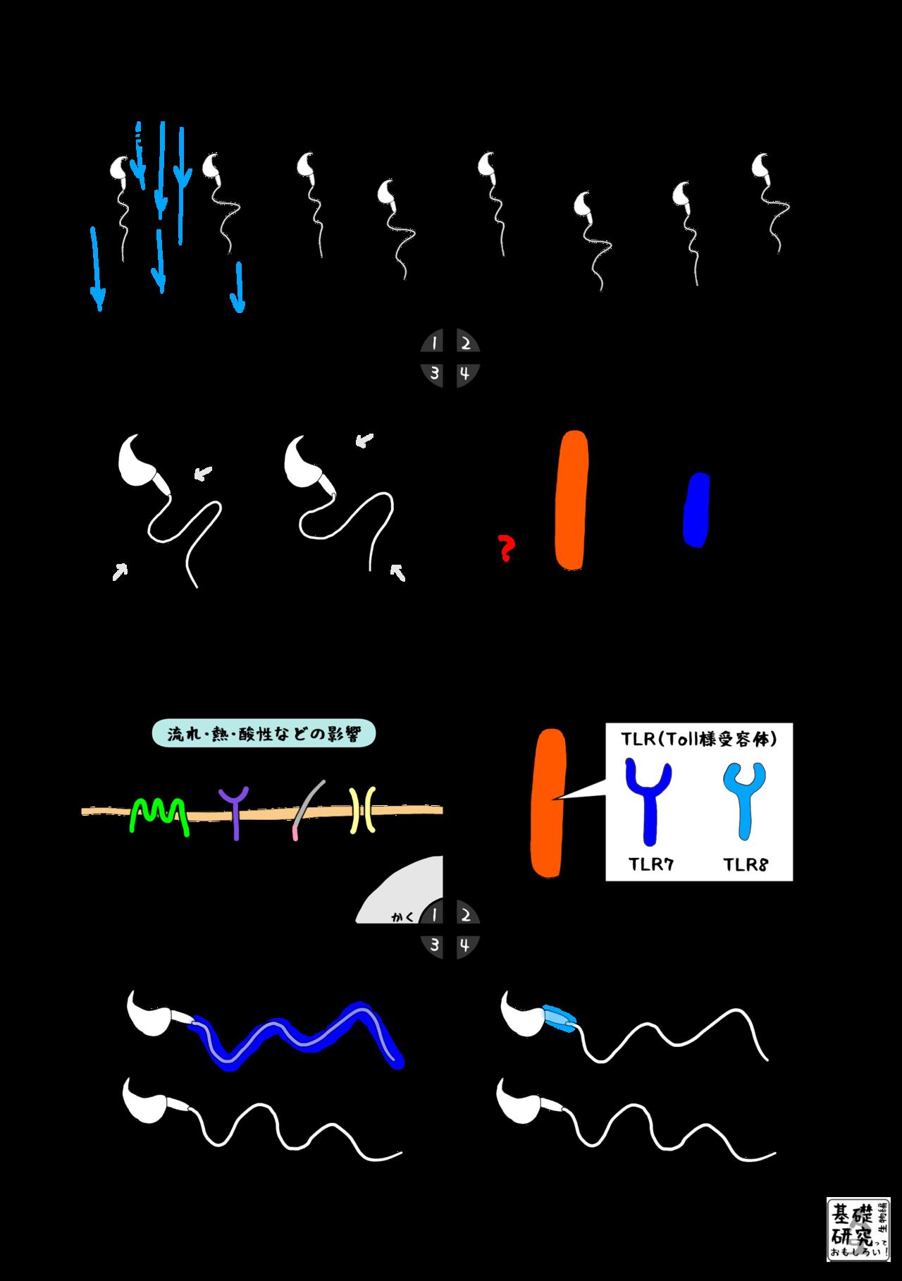 マウスの精子の運動性 ~違いを生み出すX染色体~ 2|かわいせーざん ...