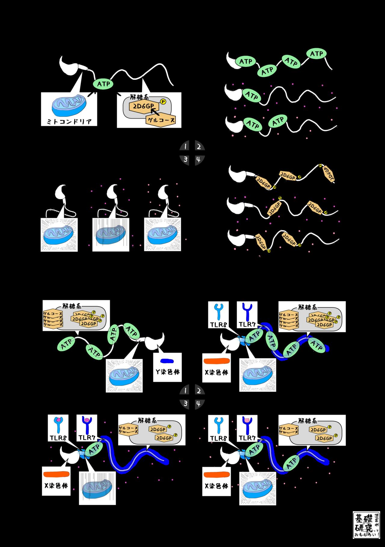 マウスの精子の運動性 ~違いを生み出すX染色体~ 4|かわいせーざん ...