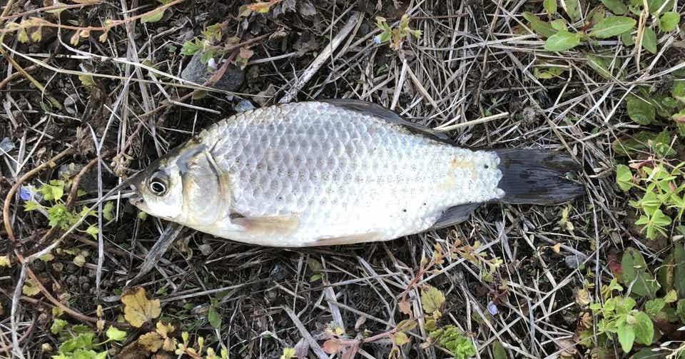 川釣りの基本、鮒釣り|おいかわ3|note