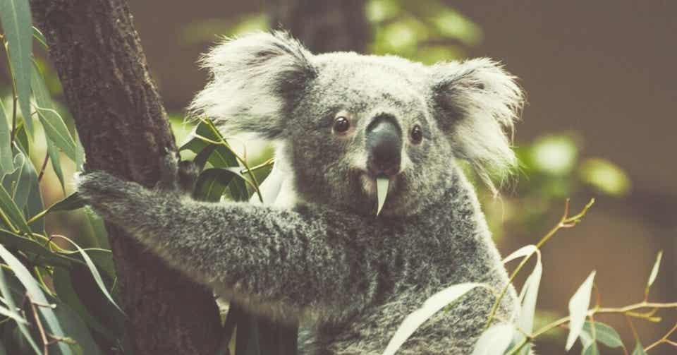 コアラ の マーチ 寄付