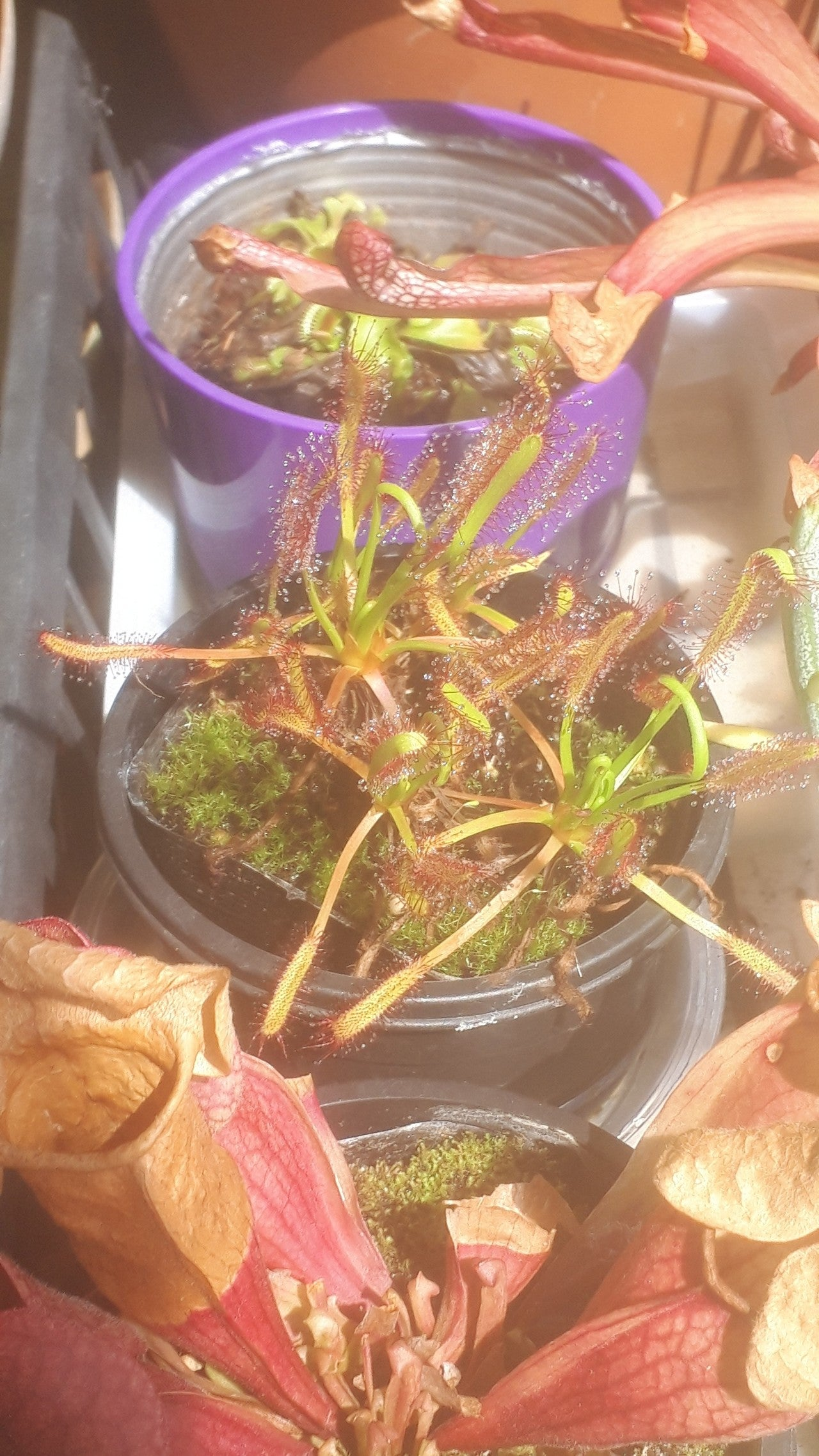 虫 コバエ 食 植物