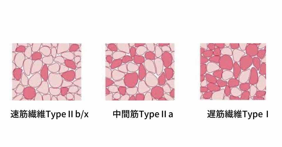 筋繊維ごとのトレーニング(各筋繊維タイプの特徴)|トキトレ(JSPO ...