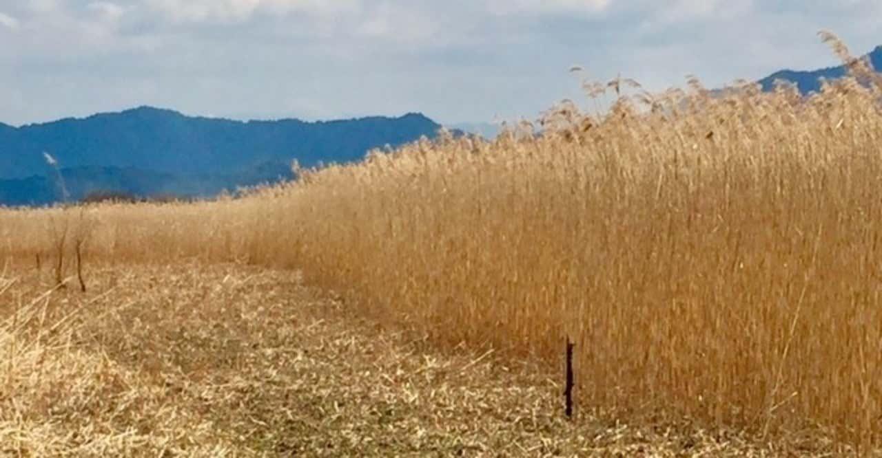 琵琶湖畔に生息する、自然の恵み「葦(ヨシ)」【雑感】 Nature's ...