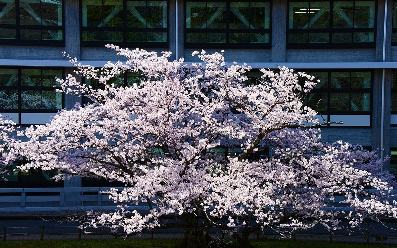 桜sakura_B