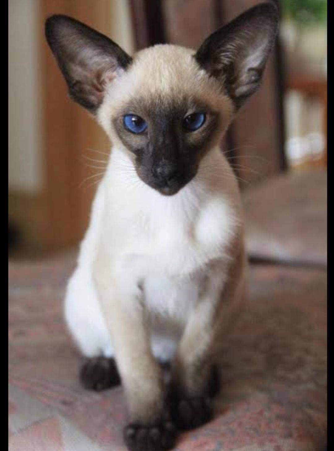 猫 性格 シャム シャム猫の性格や特徴は?寿命や病気、歴史は?