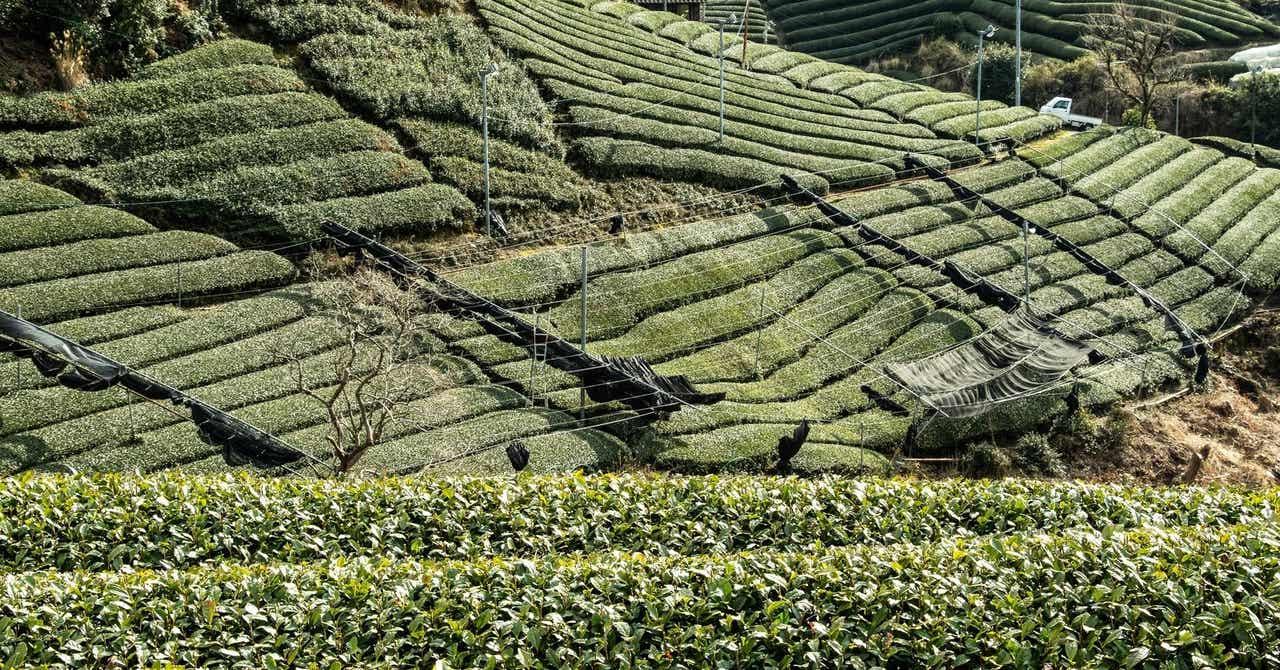 緑茶で胃脂肪を減らす方法