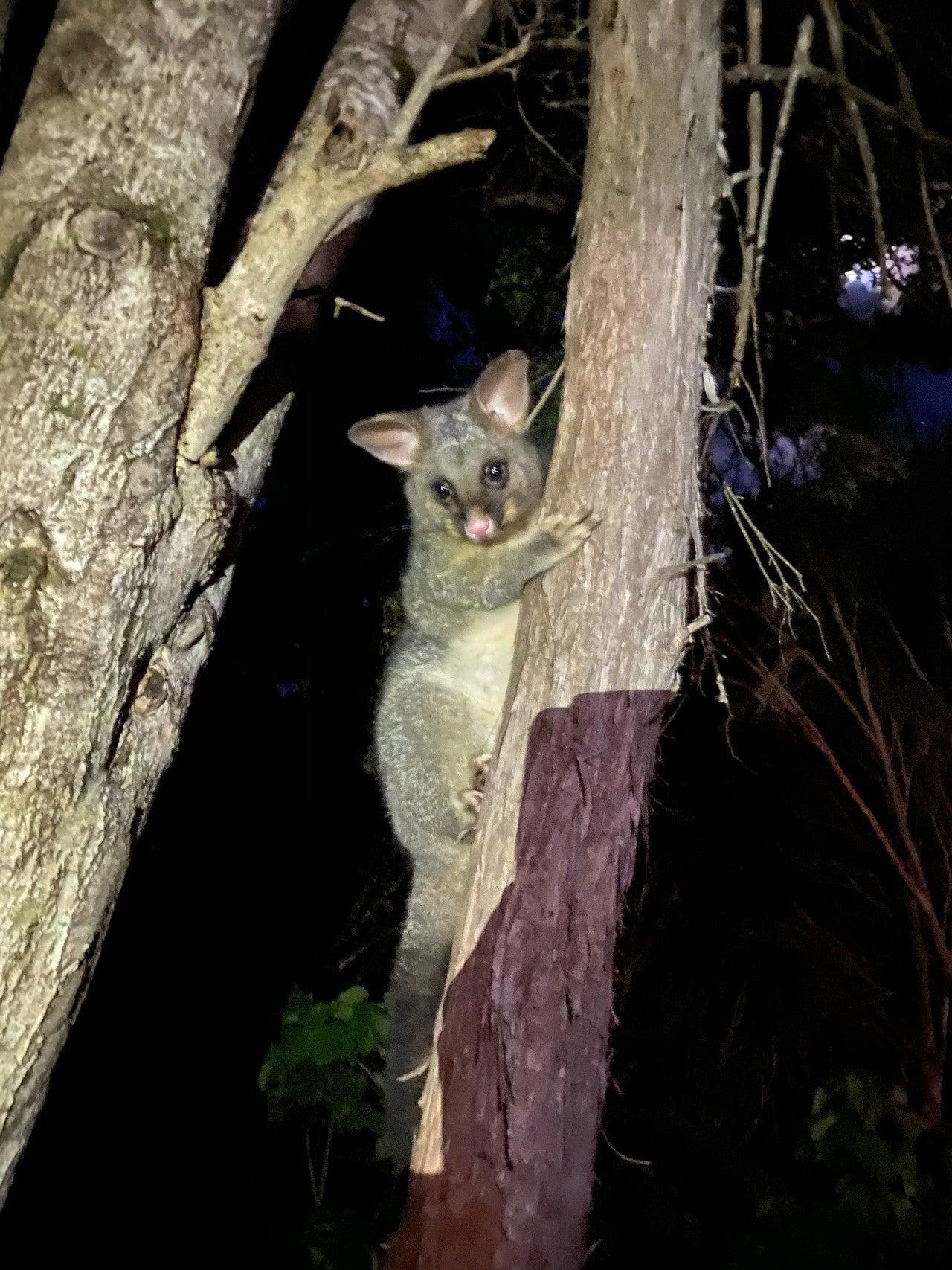 img-possum