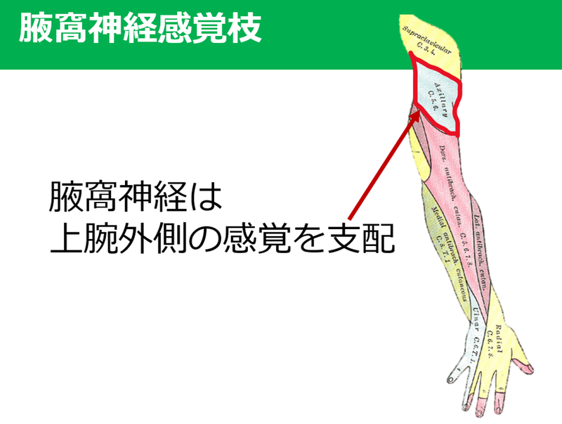 神経 麻痺 腋窩 腋窩神経は肩峰から約〇cm下にある?
