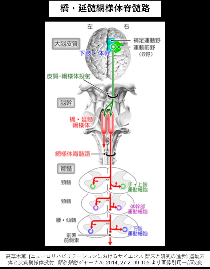 橋網様体脊髄路