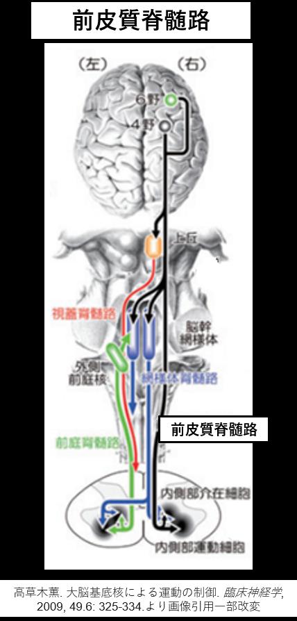 前皮質脊髄路