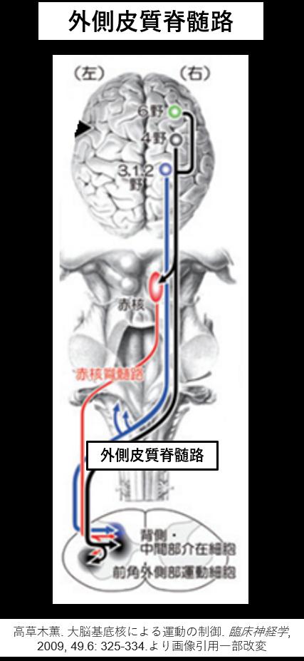 外側皮質脊髄路