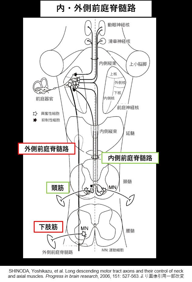 前庭脊髄路1