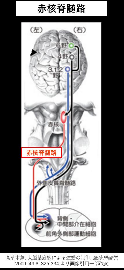 赤核脊髄路