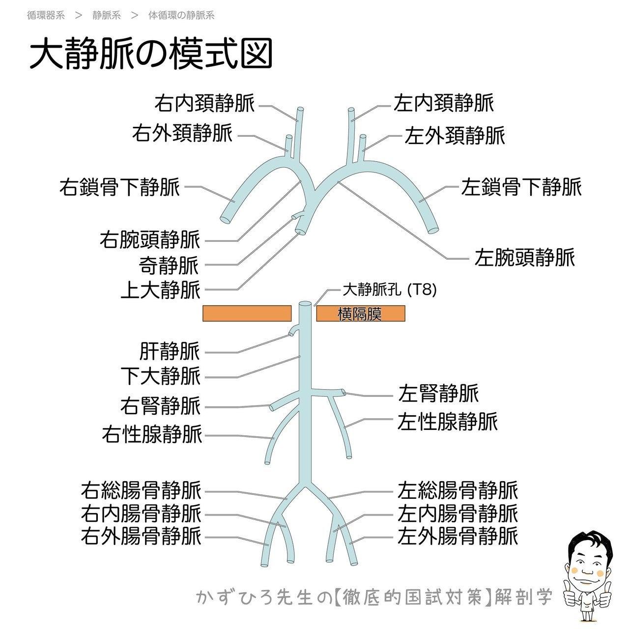 【2-4(1)】循環器系 - 静脈系 解説