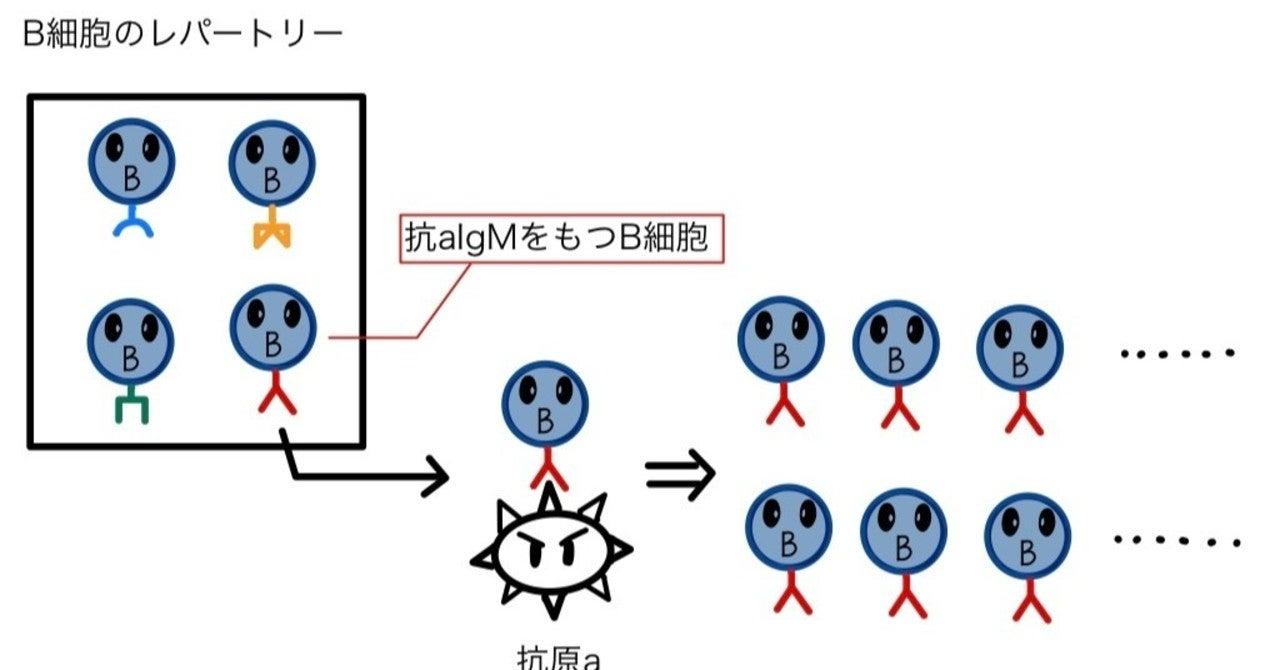 免疫学6 体液性免疫 ~B細胞・基本的特徴~|狐の医学生物|note