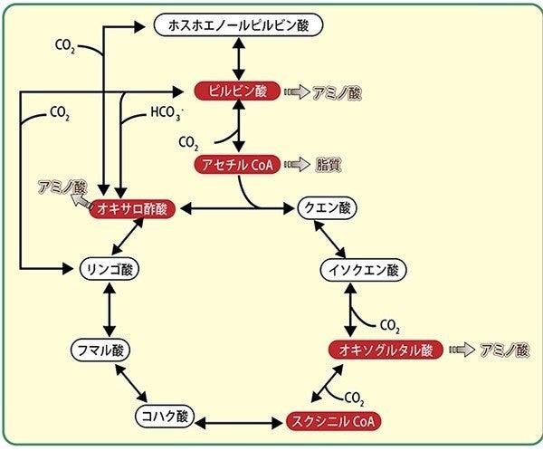 TCAサイクル