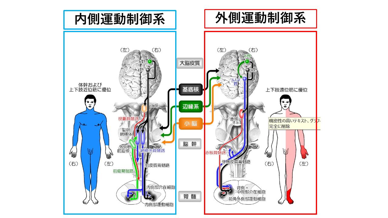 筋緊張を理解する~皮質脊髄路・網様体路編~|脳卒中に関する情報整理note|note