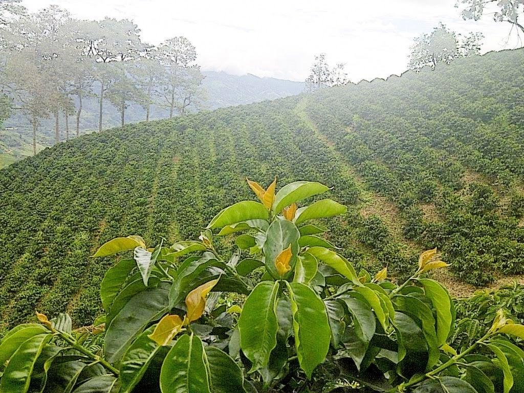 コーヒー農園1