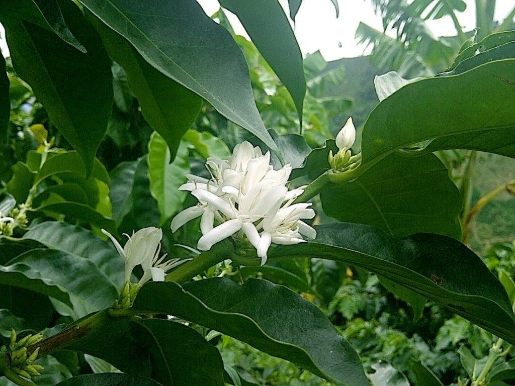 コーヒーの花1