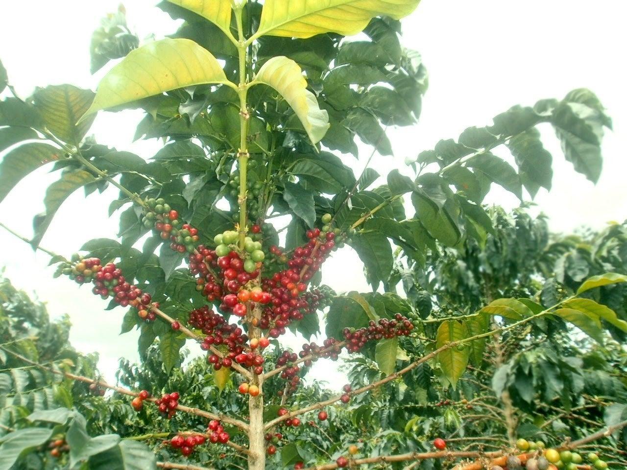 コーヒーの木1
