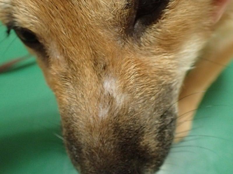 幼犬のニキビダニ症