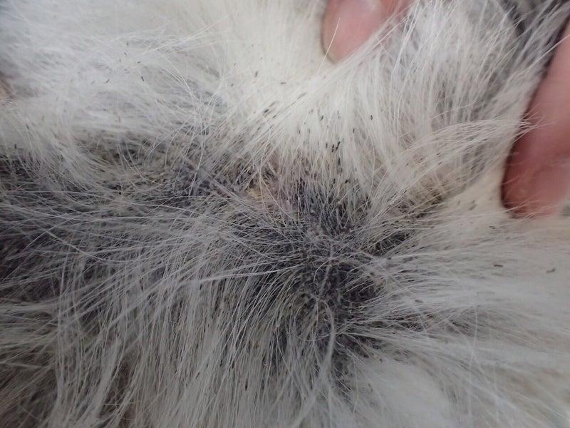 犬ニキビダニ症1