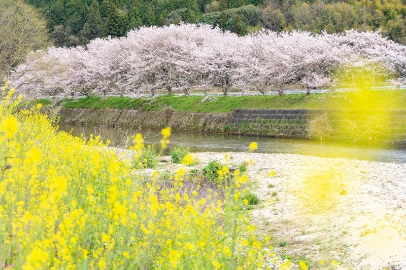 No4811_御調川沿いの桜 (1)