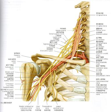 神経 麻痺 腋窩 神経ブロック:腋窩神経