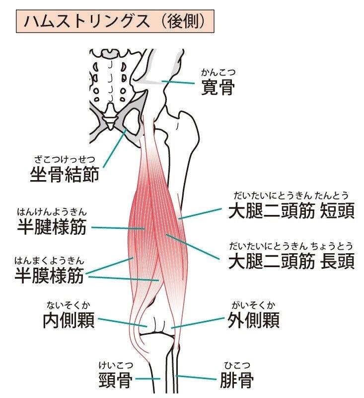 ハムストリング 筋肉 解剖