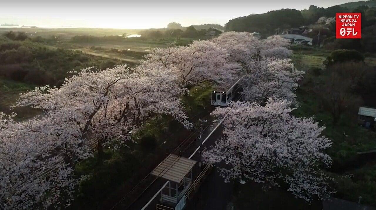 210327 桜のトンネル
