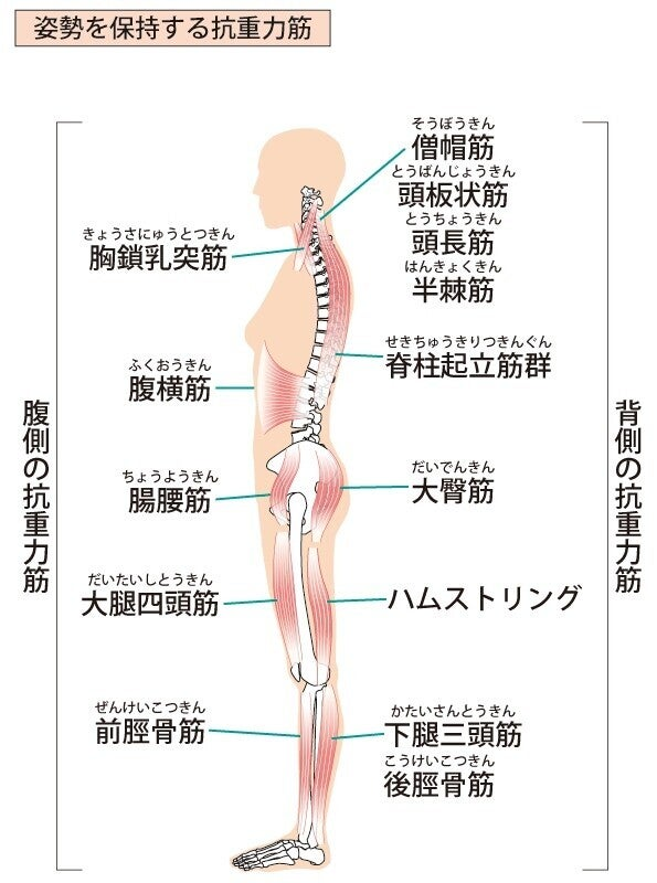 拮抗筋 筋肉