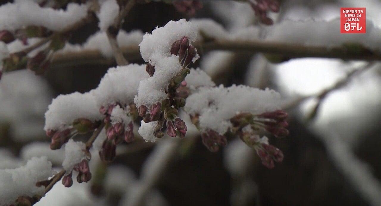 210410 雪桜