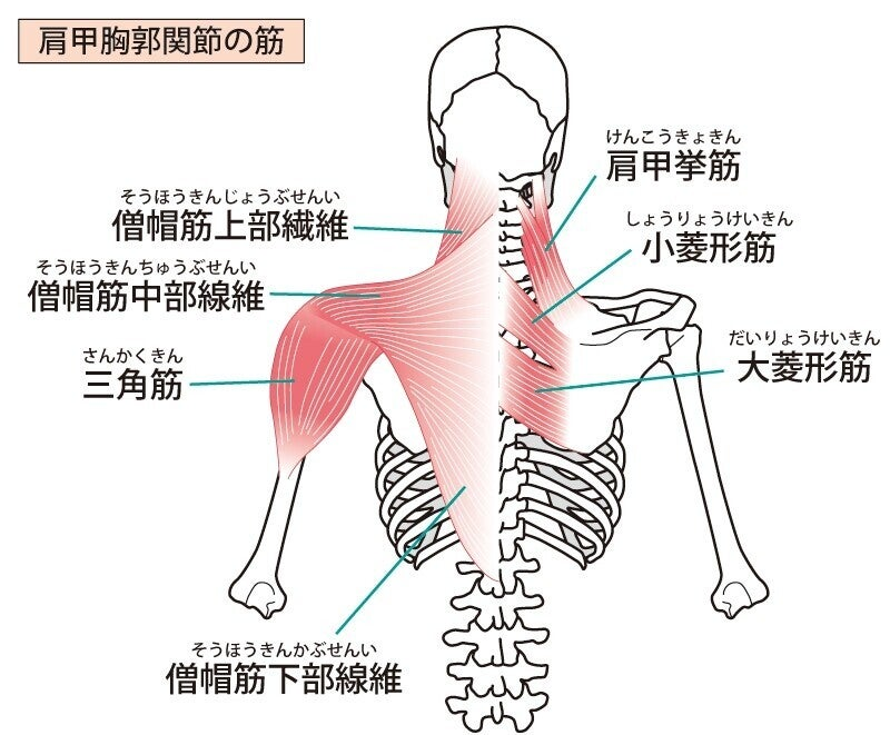 肩甲骨周りの筋肉 解剖