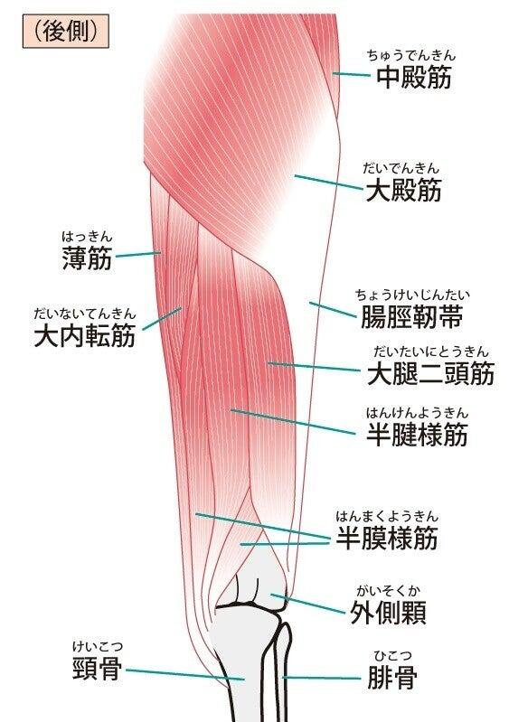 筋肉 解剖 ハムストリング