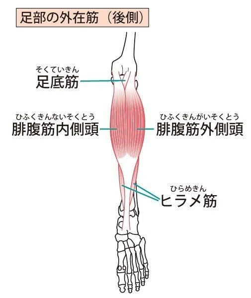 下腿 筋肉 解剖