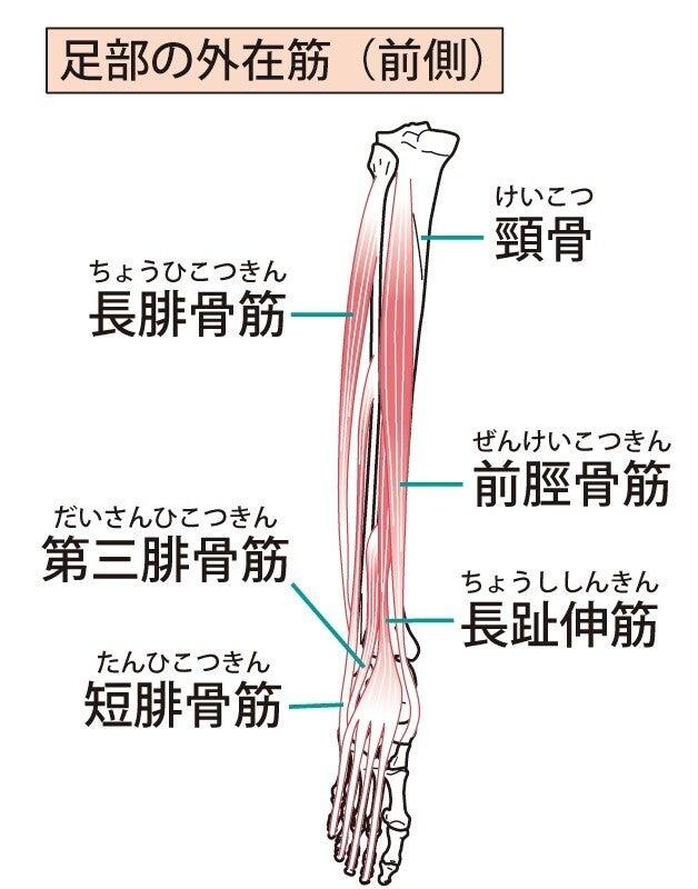 解剖 下腿 筋肉