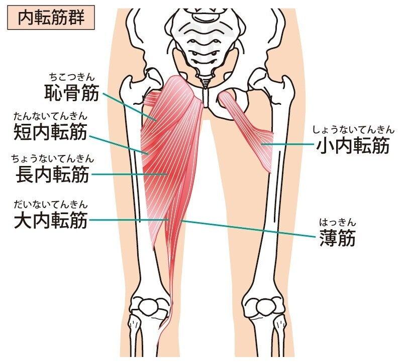 大腿四頭筋 筋肉 解剖 内転筋