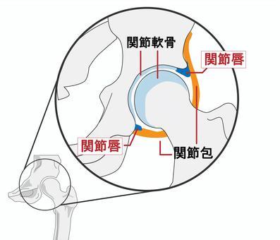 大腿四頭筋 筋肉 解剖 骨盤 関節唇
