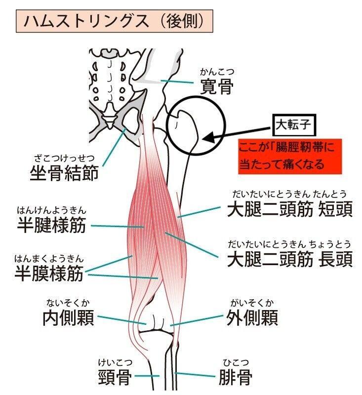 大腿四頭筋 筋肉 解剖 内転筋 ハムストリングス