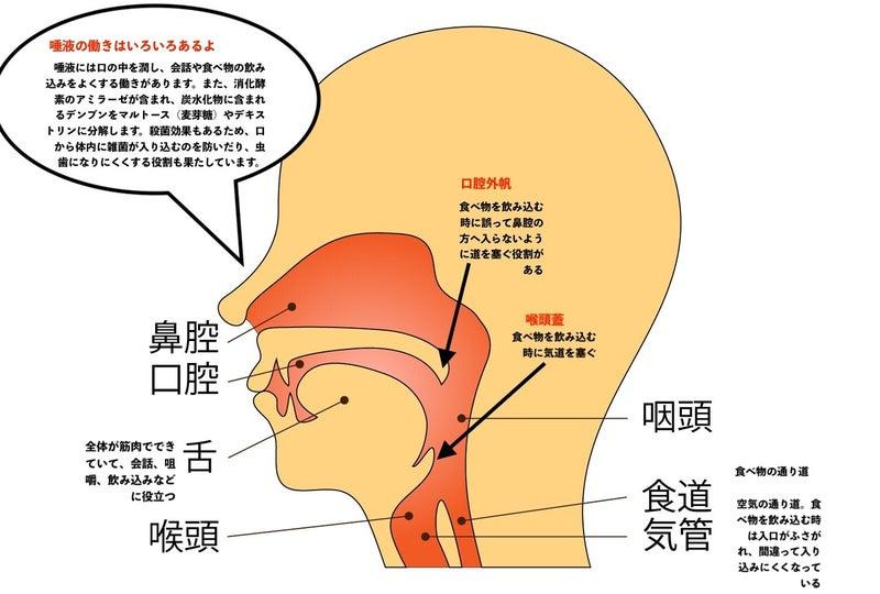 口腔 解剖図