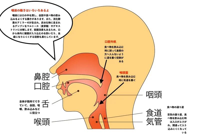 図解 食道 咽頭 口蓋