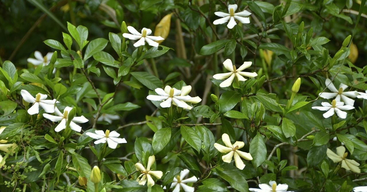 クチナシ花3