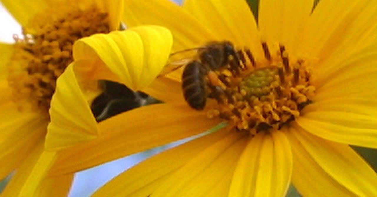 アレルギー 菊芋