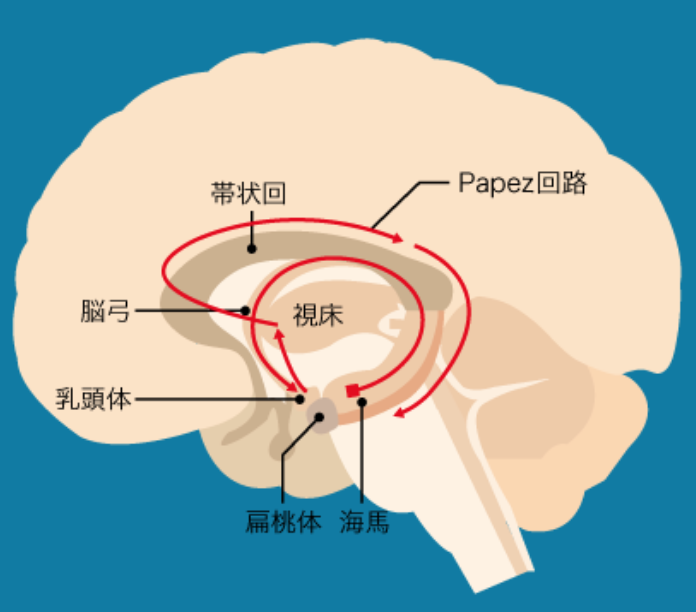 回路 ヤコブレフ 情動と音楽の起源―情動の進化と脳機能