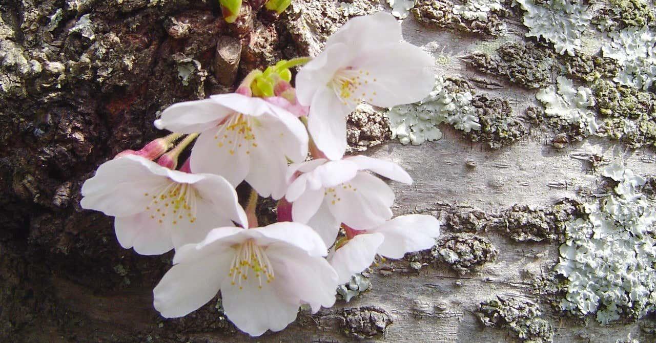 桜の京都-077